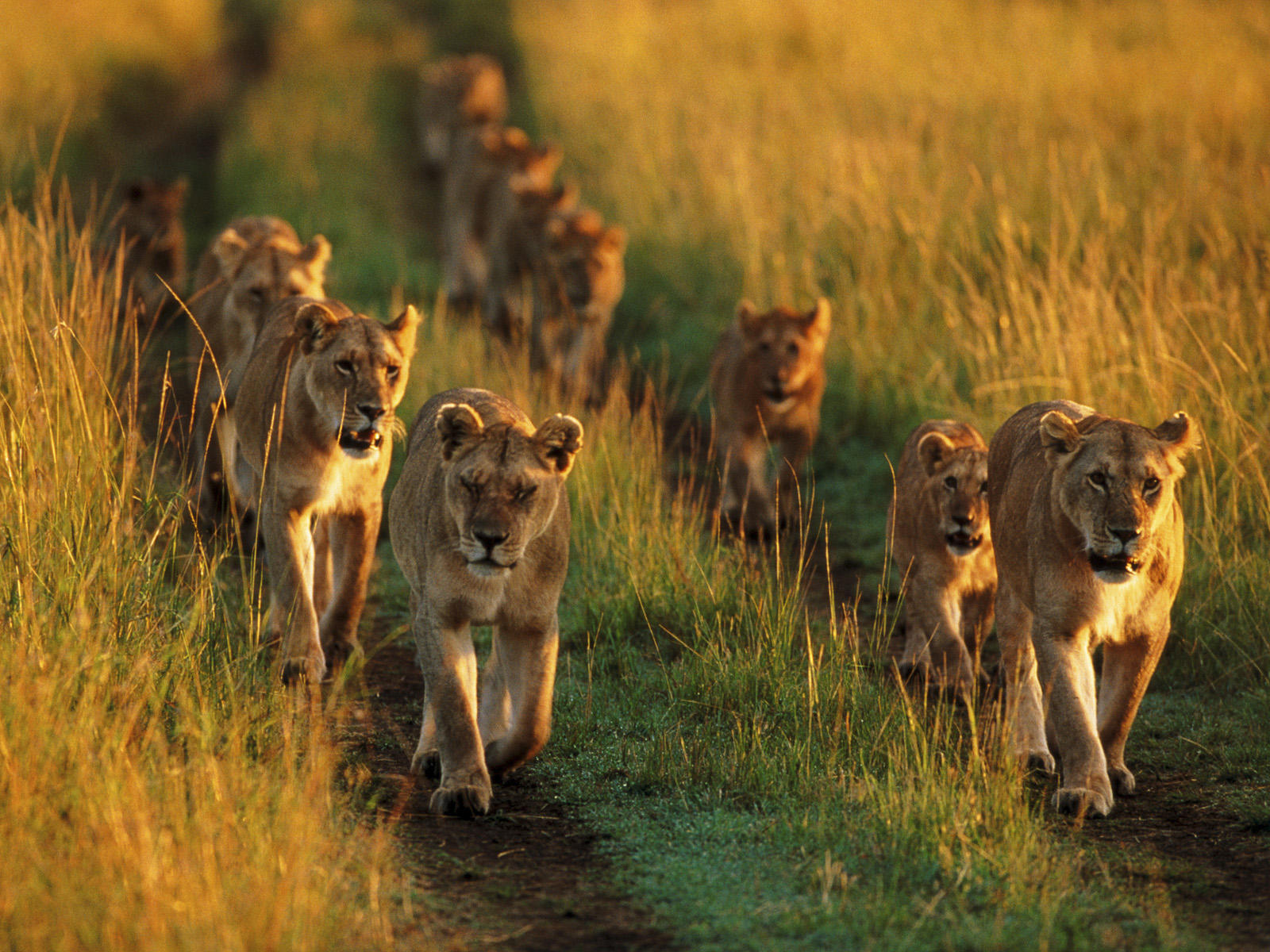 Pride Of Lions (2014)